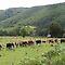 A Herd of Bovines