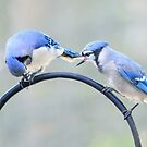 Two bluejays  by Laurie Minor