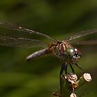 Female Blue Dasher by Otto Danby II