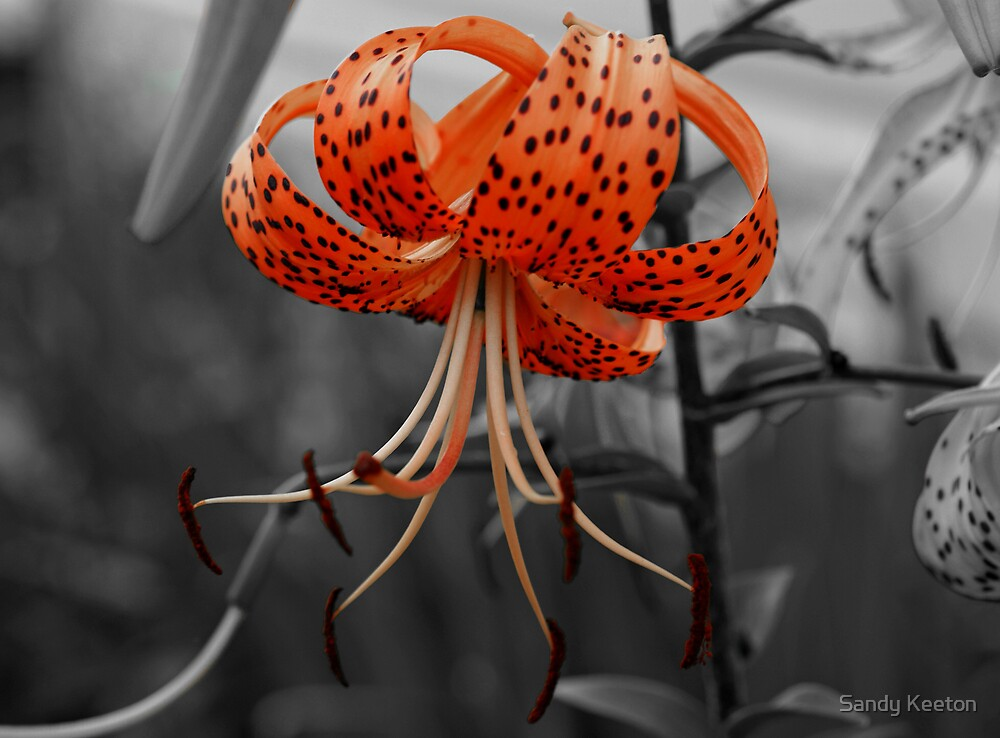 Tiger Lily by Sandy Keeton