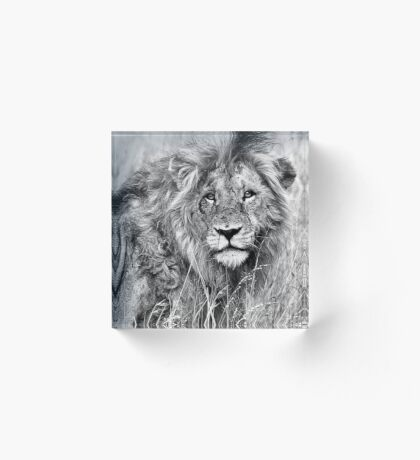 INTENSITY - THE LION - panthera leo - LEEU Acrylic Block