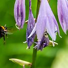 Bumblebee Flying to a Lavender Flower by Jon Shore