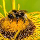 Bumblebee on a Yellow Flower Macro by Jon Shore