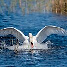 Swan Coming in for a Landing by Jon Shore