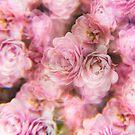 Pale pink rose bush photographed through a prism filter by Karin Elizabeth