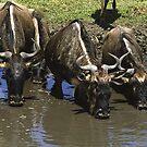 Wildebeeste in Ngorongoro Crater, Tanzania by Bev Pascoe