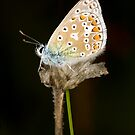 Common Blue by Brian Haslam