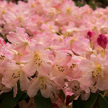 Pastel Coral Azaleas, Refreshed by the Rains by GeorgiaM