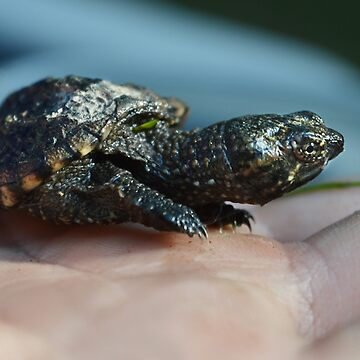 Baby Snapping Turtle #2 by LaurieMinor