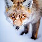 Curious Fox by Patrice Mestari