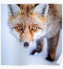 Neugieriger Fuchs Poster