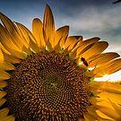 Sunflower 01 by thestormworks