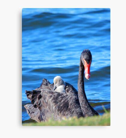 Black Swan - Western Australia  Canvas Print