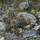 Mojave Mound Cactus – Mission Creek Preserve, Riverside County, CA by Rebel Kreklow