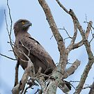 Brown Snake-Eagle (Circaetus cinereus) by Yair Karelic