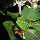 Red Milkweed Beetle by Len Bomba