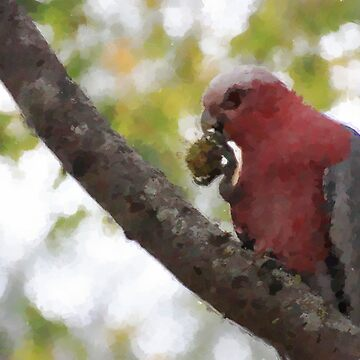 Galah in a tree. by Ian17