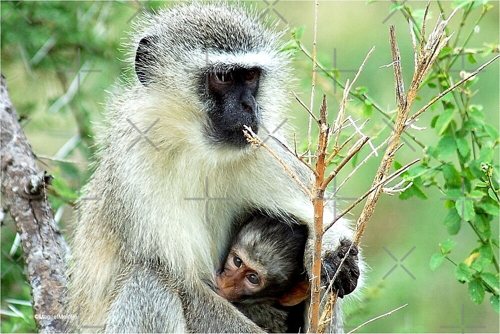 MOTHER LOVE - THE VERVET MONKEY - Cercopithecus aethiops - Blou-aap by Magriet Meintjes