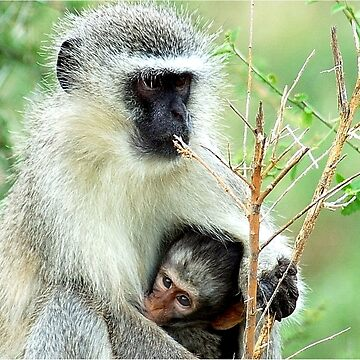 MOTHER LOVE - THE VERVET MONKEY - Cercopithecus aethiops - Blou-aap by mags