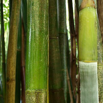Bamboo  by JudyGayle
