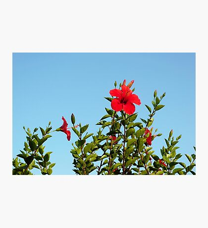 Red hibiscus Photographic Print