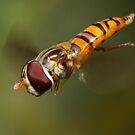 Hoverfly in flight by Andrew Durick