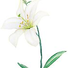 white lily watercolor  by ColorandColor