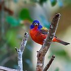 Male Painted Bunting by TJ Baccari Photography