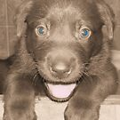 Chocolate Lab Puppy by tawaslake