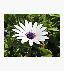 White African Daisy Photographic Print