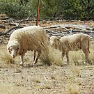 Sheep in a dry paddock by hans p olsen