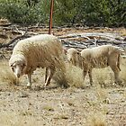 Sheep in a dry paddock by hanspeder