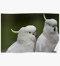 Sulphur-Crested Cockatoos Poster