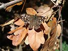 Speckled Wood Butterfly (Pararge Aegeria) by Robert Burton