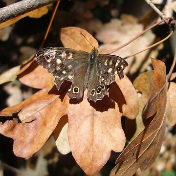 Speckled Wood Butterfly (Pararge Aegeria) by rimbaud3000