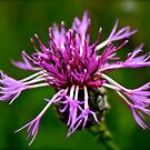 Thistle by Catherine Hadler