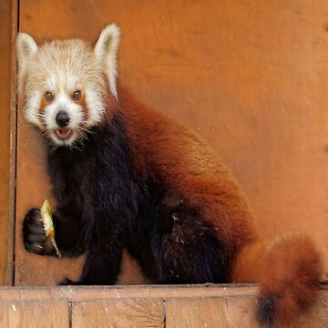 Cute Red Panda by LuciaS