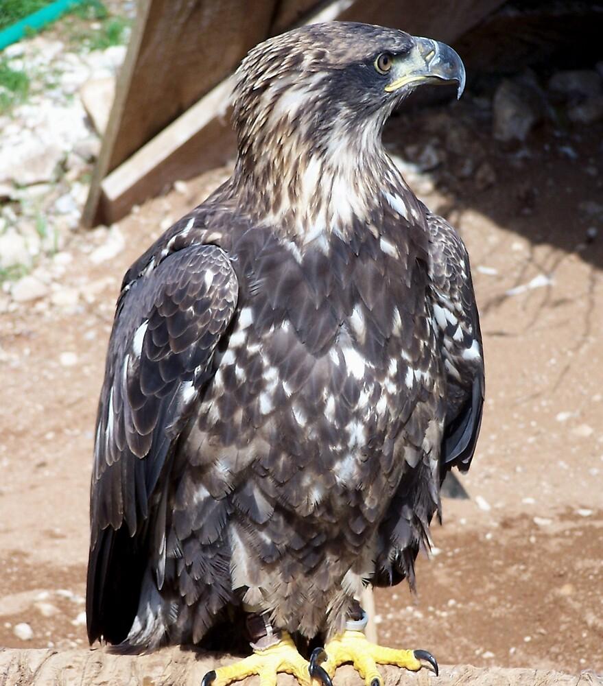 Eagle by mysticcatnip