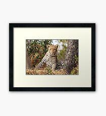 Male Leopard - Okavango Delta, Botswana Framed Print