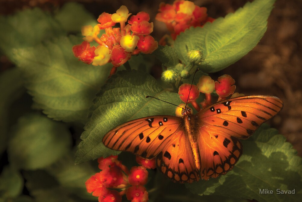 Butterfly - Heliconius  by Michael Savad