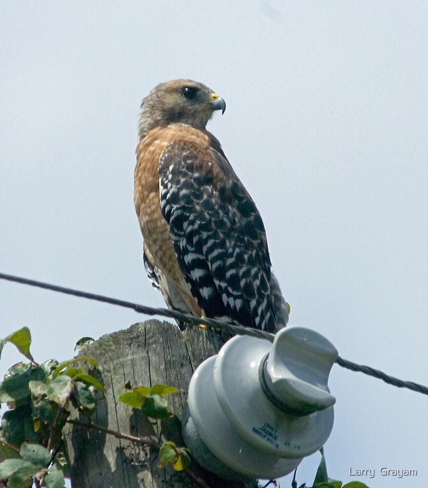 Red-Shouldered Hawk by Larry  Grayam