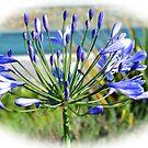 Agapanthus Flower......Lyme Dorset UK by lynn carter