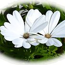 White Daisies.........Lyme Dorset UK by lynn carter