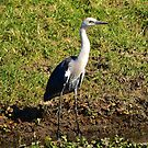 Pacific Heron by Penny Smith