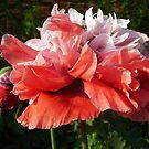 Double Poppy by tonymm6491
