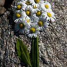 ..crazy daisy.. by Kasia Fiszer