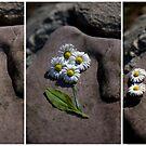 daisy..daisy..daisy by Kasia Fiszer