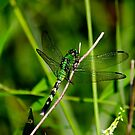 Green Dragonfly by Brad Chambers