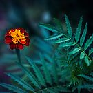 Tagetes patula by Frost Foto