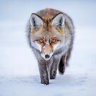Winter Fox by Patrice Mestari